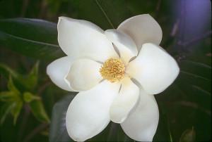 Lotus Magnólia