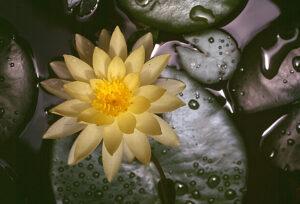Lotus do Egito