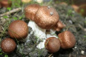 agaricus-blazei-gods-mushroom