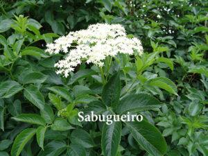 Sabugueiro