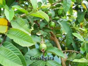 goiabeira