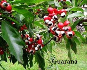 guarana-2